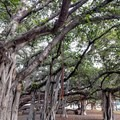 Prop roots stream down from the branches to add stability to the tree and allow it to grow to an impressive size.- Banyan Tree Park