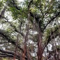 The tree is like a jellyfish with thousands of tentacles hanging down from above.- Banyan Tree Park