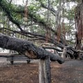 In places the large branches are supported with wooden posts.- Banyan Tree Park