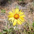 Blanket flower.- Grande Ronde River: Minam to Troy