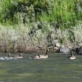 Canada geese in the spring.- Grande Ronde River: Minam to Troy
