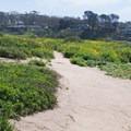 Rattlesnake on the trail ahead.- Scripps Coastal Reserve