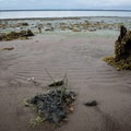 Low tide on Long Island, Willapa Bay National Wildlife Refuge.- Willapa Bay National Wildlife Refuge, Long Island Unit