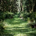 The hiking routes use former logging roads.- Willapa Bay National Wildlife Refuge, Long Island Unit