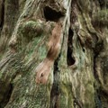 Footholds carved into the trunk of a gigantic old-growth cedar.- Willapa Bay National Wildlife Refuge, Long Island Unit
