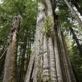 Enormous old cedars along the Cedar Grove Trail.- Willapa Bay National Wildlife Refuge, Long Island Unit