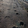 Deer tracks beside an unidentified set of paw prints (help us identify them by providing feedback).- Willapa Bay National Wildlife Refuge, Long Island Unit