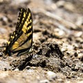 A tiger swallowtail butterfly rests in the sunlight beside the hot springs pools.- McCredie Hot Springs