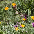 Wildflowers surrounding the deeper pools at McCredie Hot Springs.- McCredie Hot Springs