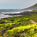 Oxalis in full bloom.- Harmony Headlands State Park