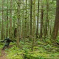 The forest is green and mossy with loam tracks running here and there.- Cabin Fever + Millipede Mountain Bike Trails