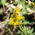 Butterflies gather on a wildflower.- Boulder Creek Lakes