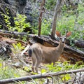 A young buck pauses before fleeing moments later.- Boulder Creek Lakes