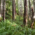Lush understory along the trail.- Horse Creek North/Drift Creek North Hike