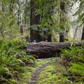 A downed western redcedar that had a 5-foot diameter.- Horse Creek North/Drift Creek North Hike