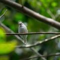 Unidentified finch species (help us identify it by providing feedback).- Bloedel Conservatory