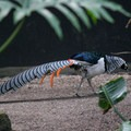 Lady amherst pheasant (native to China).- Bloedel Conservatory