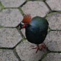 Roul roul partridge, native to the Malayan peninsual, Borneo, and Sumatra.- Bloedel Conservatory
