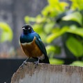 African superb starling (native to northeast Africa). A singer related to the myna bird.- Bloedel Conservatory