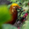 Golden pheasant.- Bloedel Conservatory