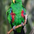 Kiwi, a male eclectus parrot.- Bloedel Conservatory