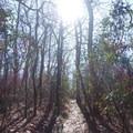 Continuing onto the Benton Mackaye Trail.- Springer Mountain Loop via Three Forks