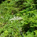 A wild carrot. Might be a species of angelica, maybe yampa.- Jefferson Park via Whitewater Creek Trail