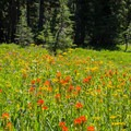 Awesome meadows of wildflowers as you reach Jefferson Park. The red flowers are Indian paintbrush (Castilleja), the yellow are groundsel (Senecio).- Jefferson Park via Whitewater Creek Trail