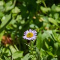 Some type of aster (Erigeron).- Jefferson Park via Whitewater Creek Trail