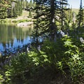 Lupine growing on the south side of the lake.- Bloods Lake