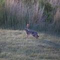 Jack Rabbit at Summer Lake. - Summer Lake Hot Springs Campground