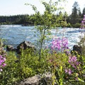 The fireweed covers the banks near the campsites.- Riverside Campground