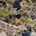 Marmots abound.- Longs Peak: Keyhole Route
