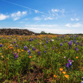 Lupine and poppies in North Table Mountain Ecological Reserve.- North Table Mountain Ecological Reserve
