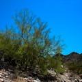 Palo Verde Tree.- Piestewa Peak Summit Trail, Phoenix Mountain Preserve