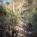Portions of the trail require dodging sharp yucca plants.- Bridge to Nowhere / East Fork San Gabriel River Trail