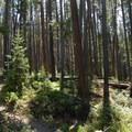 Lodgepole forest.- Big Horn Peak