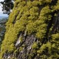 Wolf lichen (Letharia vulpina).- Big Horn Peak
