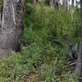 Ruffed grouse.- Big Horn Peak