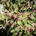 Wild raspberries along the route to Ontario Peak.- Ontario Peak