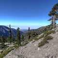 Wind-sculpted trees clinging to the top of the mountain.- Mount Baldy Summit via Ski Hut Trail