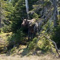 Moose are commonly seen on the Long Range Traverse.- The Long Range Traverse