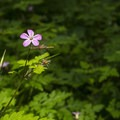 Herb Robert geranium (Robertianum) along the Giant Douglas Fir Trail.- Giant Douglas Fir