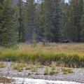 Moose along the Lake Fork.- Black Canyon Lake