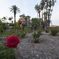Rose garden in Central Park in Pasadena.- Pasadena Central Park