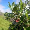 Lush vegetation lines the trail.- Waihe'e Ridge