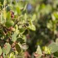 Green manzanita (Arctostaphylos patula) along the National Children's Forest interpretive trail.- National Children's Forest Interpretive Trail