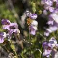 Unidentified penstemon species (help us identify it by providing feedback) along the National Children's Forest interpretive trail.- National Children's Forest Interpretive Trail