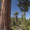 Ponderosa pine (Pinus ponderosa) at the National Children's Forest.- National Children's Forest Interpretive Trail
