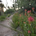 Paintbrush (Castilleja) along the Champion Lodgepole Pine Trail.- Champion Lodgepole Pine + Bluff Lake